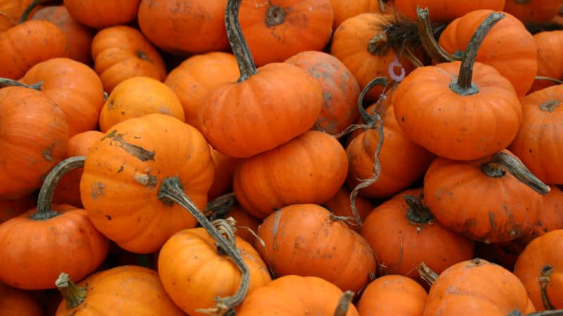 Pumpkins are popular for the Fall and especially for Hudson Valley Fall Events