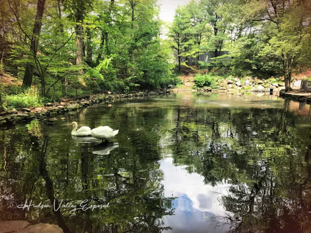 Swans at the bear mountain state park