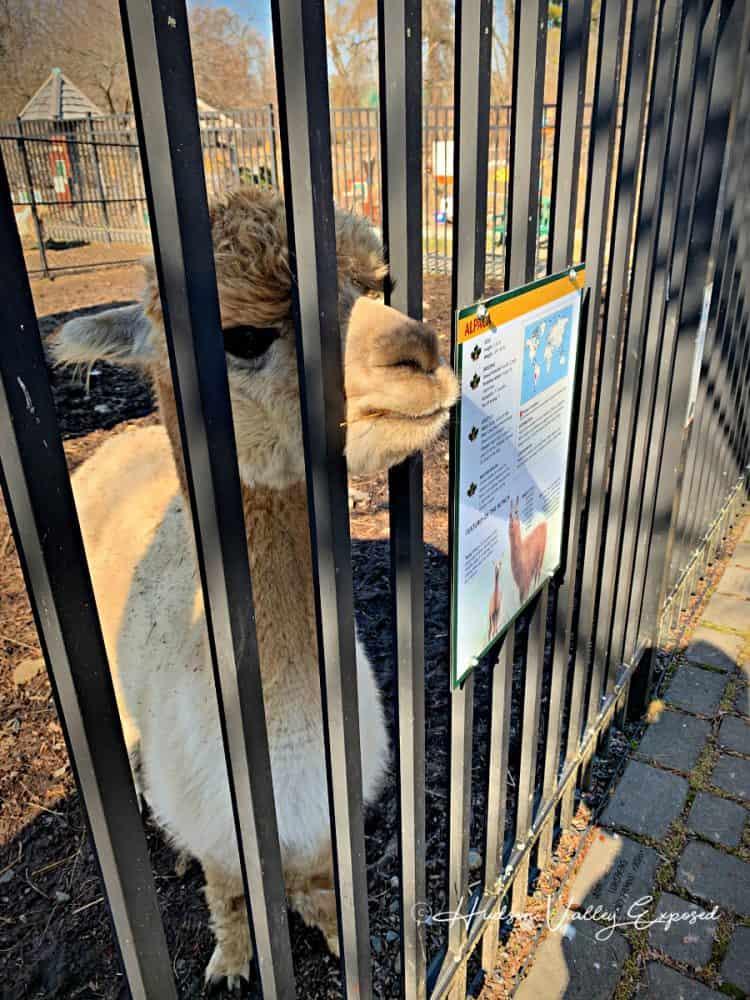 Alpaca at Forsyth Nature Center