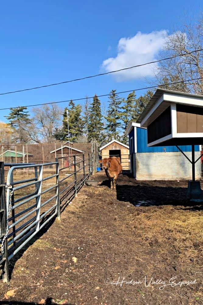 Bull at Forsyth Nature Center