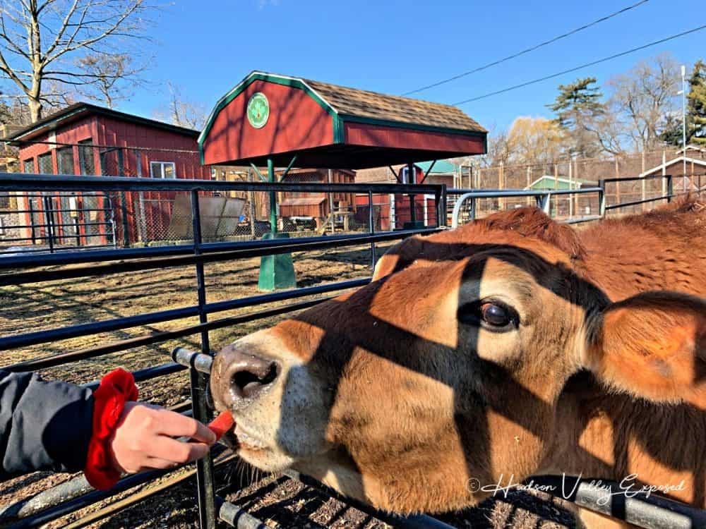 Feeding the bull at Forsyth Nature Center