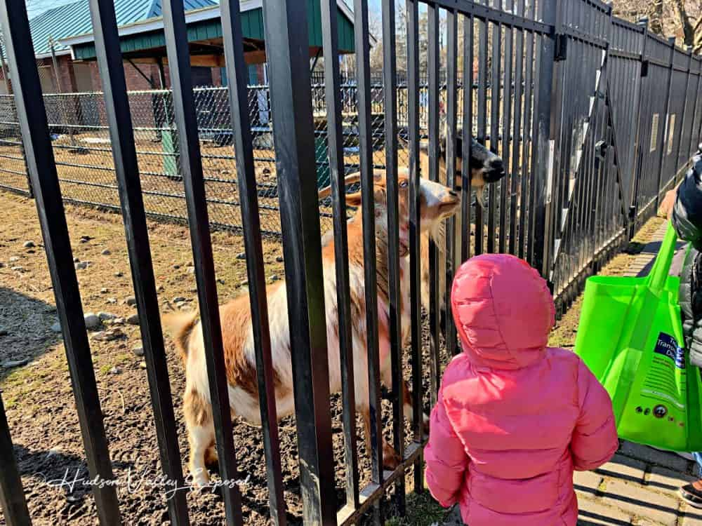 Girl feeding goats at Forsyth Nature Center