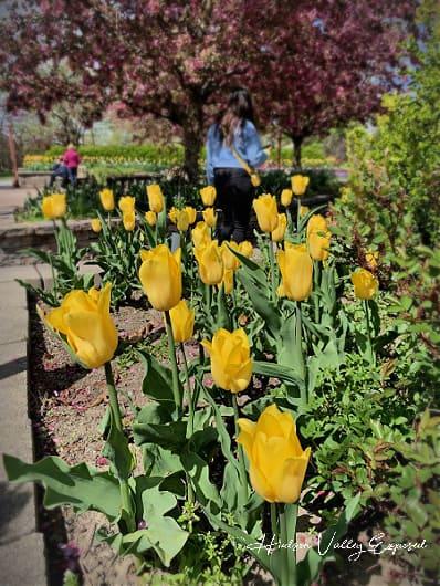 Tulips at the Orange county Arboretum
