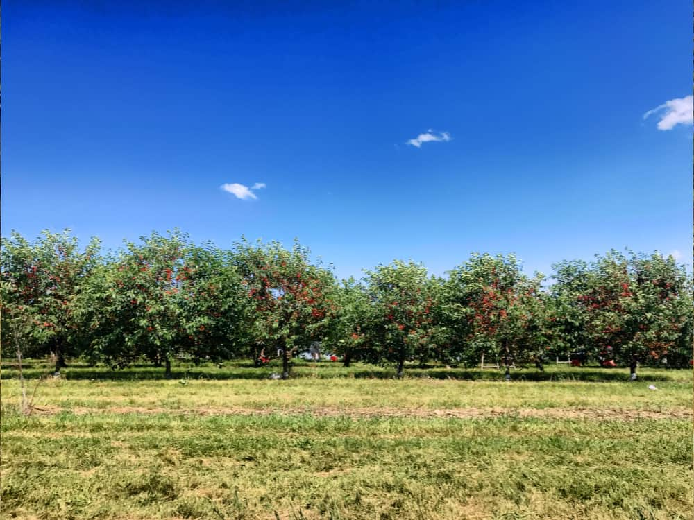 Pick your own cherries at Prospect Hill Orchards
