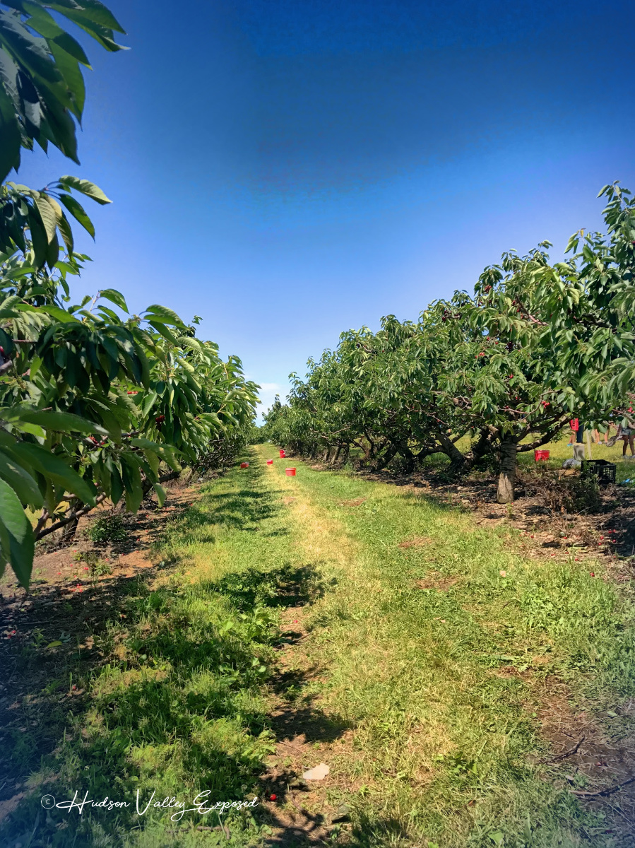 Pick your own cherries in the Hudson Valley