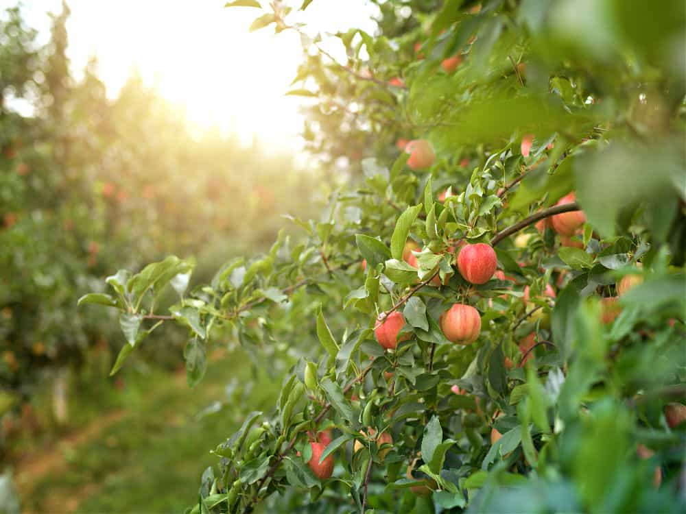 Hudson Valley Apple Picking