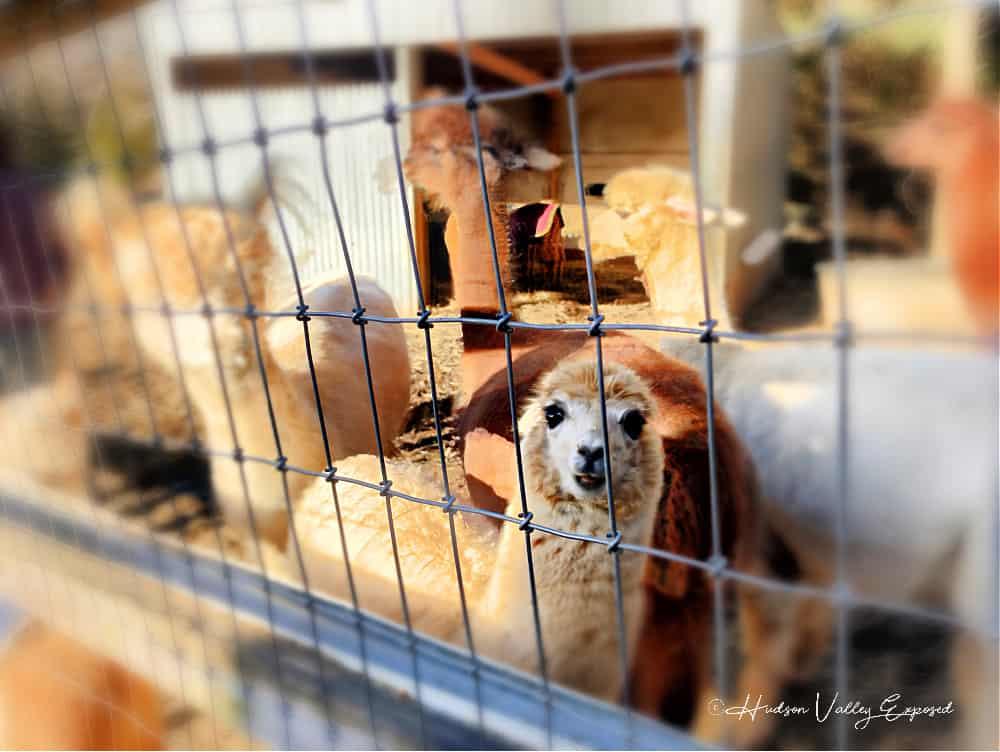 Lilymoore alpaca farm