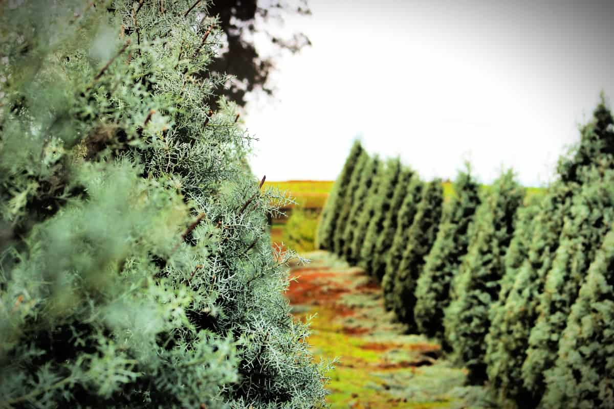 There are a variety of trees offered at cut your own Christmas tree farms